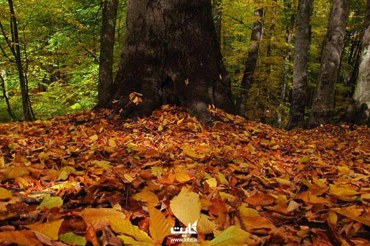 برگهای-پاییزی-جنگل-راش