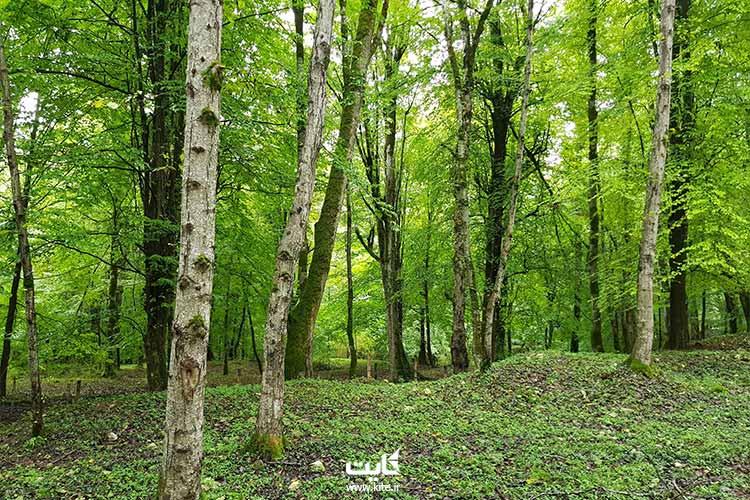 جنگل-مشعل