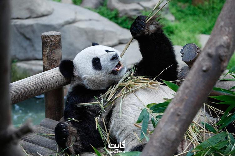 خرس پاندا در باغ وحش کره جنوبی