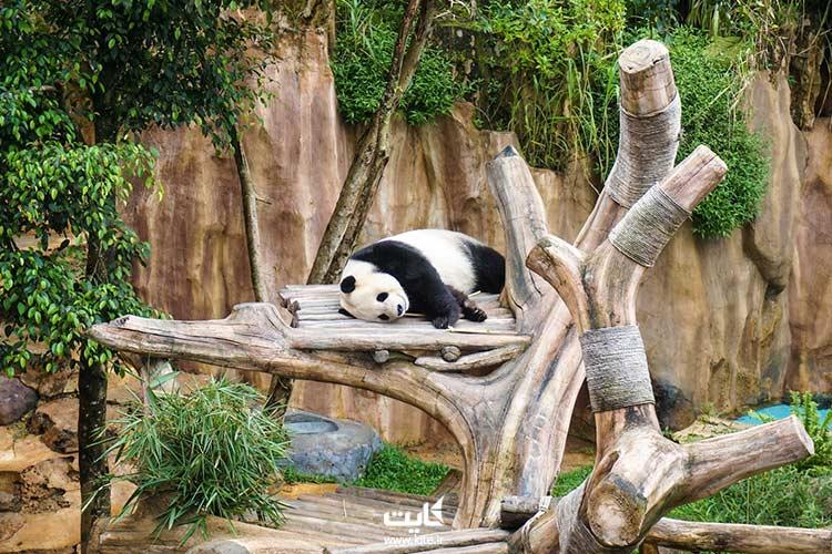 خرس-پاندا-در-باغ-وحش-اندونزی