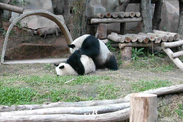 خرس-پاندا-در-باغ-وحش-تایلند