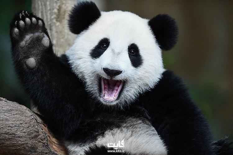 خرس-پاندا-در-باغ-وحش-مالزی
