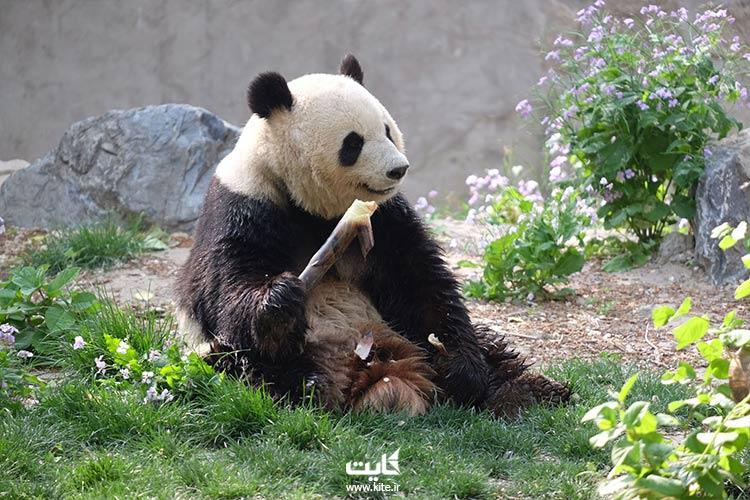 خرس-پاندا-در-باغ-وحش-چین