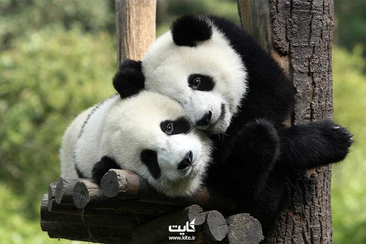 خرس-پاندا-در-باغ-وحش-ژاپن