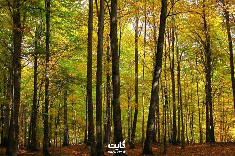 درختان-راش