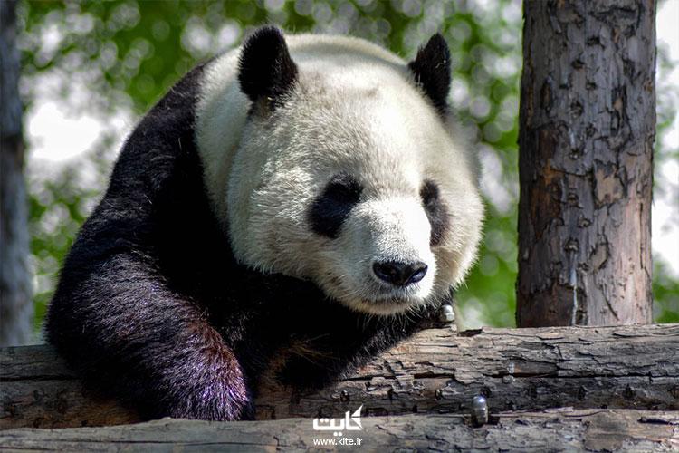 شکل-ظاهری-خرس-پاندا-بالغ