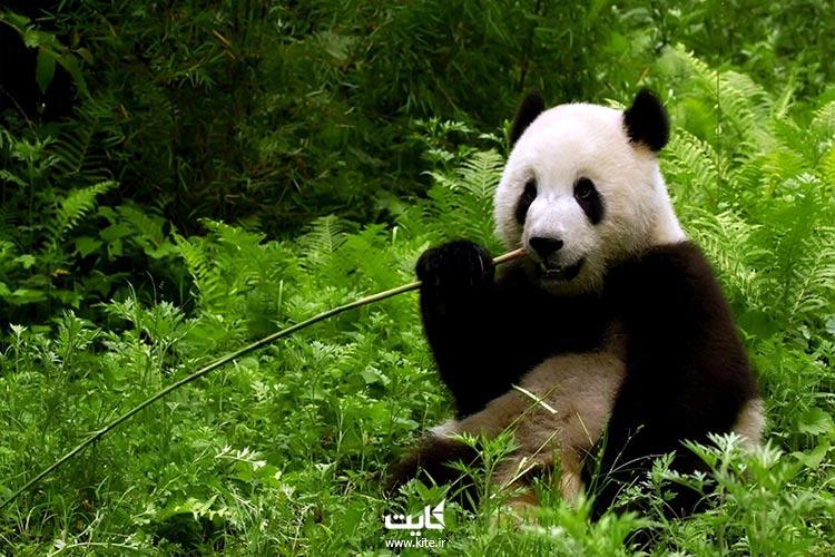 غذای-مورد-علاقه-خرس-پاندا
