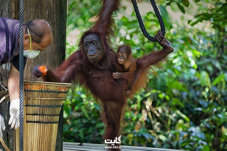 مرکز-سلامت-اورانگوتان-سپیلاک،-از-بهترین-باغ-وحشهای-جنوب-شرقی