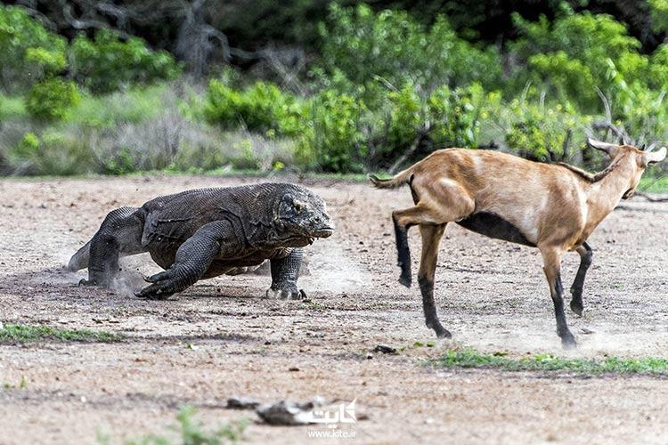 پارک-ملی-کومودو،-از-بهترین-باغ-وحشهای-جنوب-شرقی-آسیا