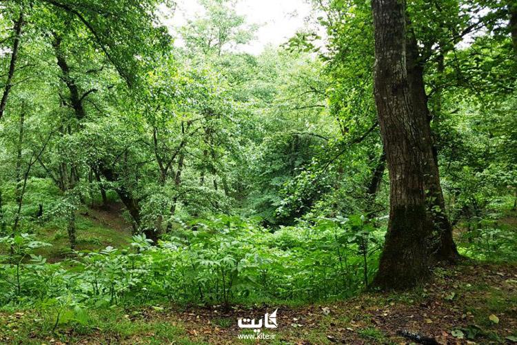 جنگل لفور سوادکوه کجاست؟