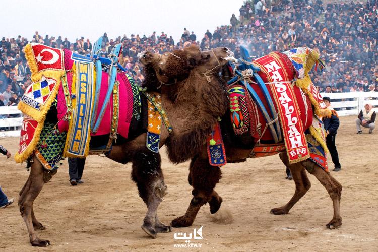 فستیوال کشتی شترها (Camel Wrestling)