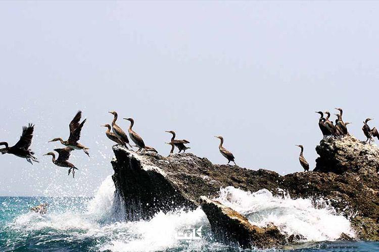 پرندگان مهاجر جزیره هنگام