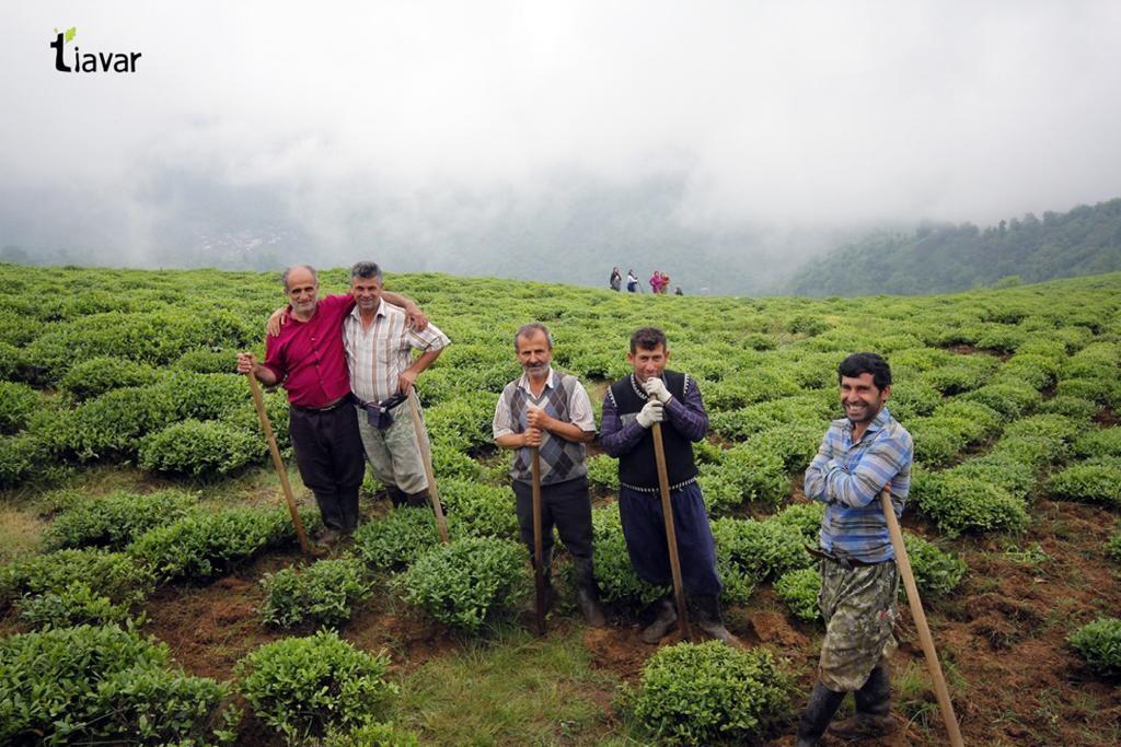 مزرعه چای و کشاورزان