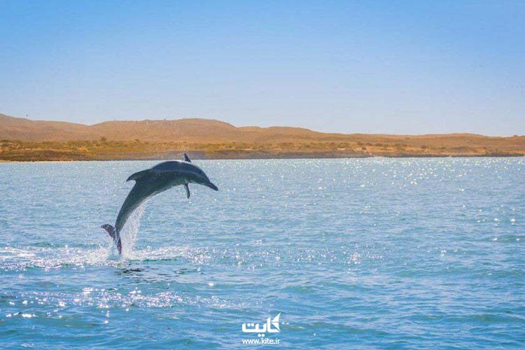 دلفینهای جزیره هنگام
