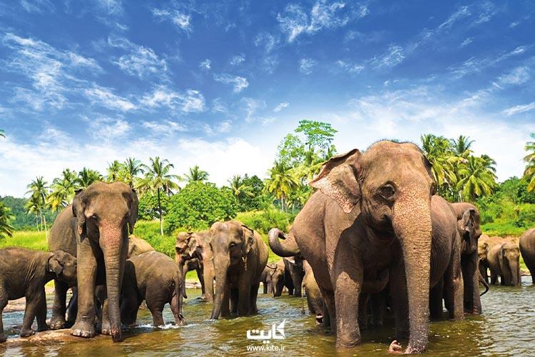 فیلهای سریلانکایی