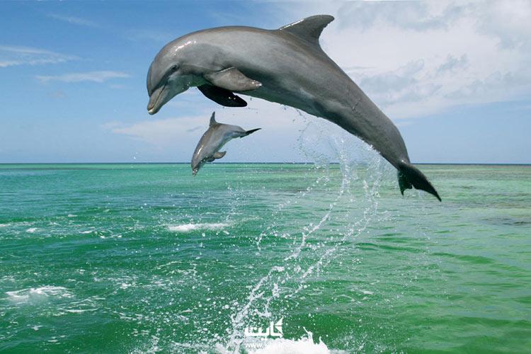 دلفینهای هنگام