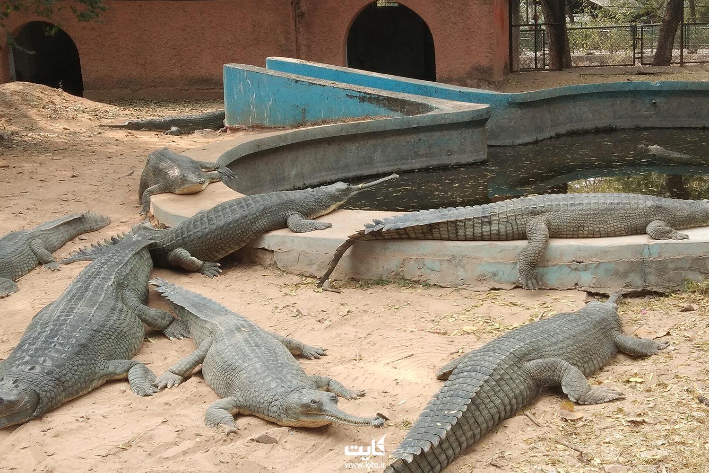 تمساح در باغ وحش جیپور کشور هندوستان