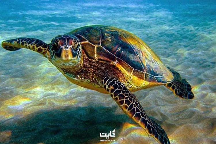 لاکپشتهای پوزه عقابی