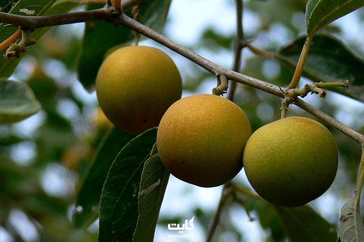 میوههای استوایی چابهار