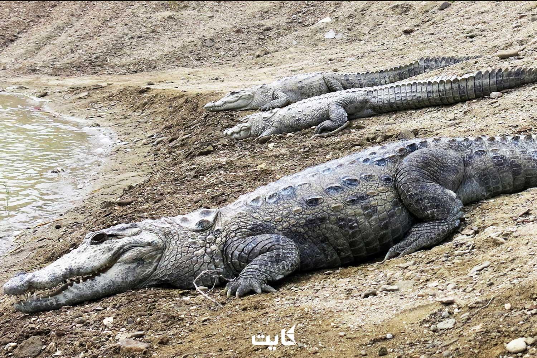 خطر انقراض گاندوها