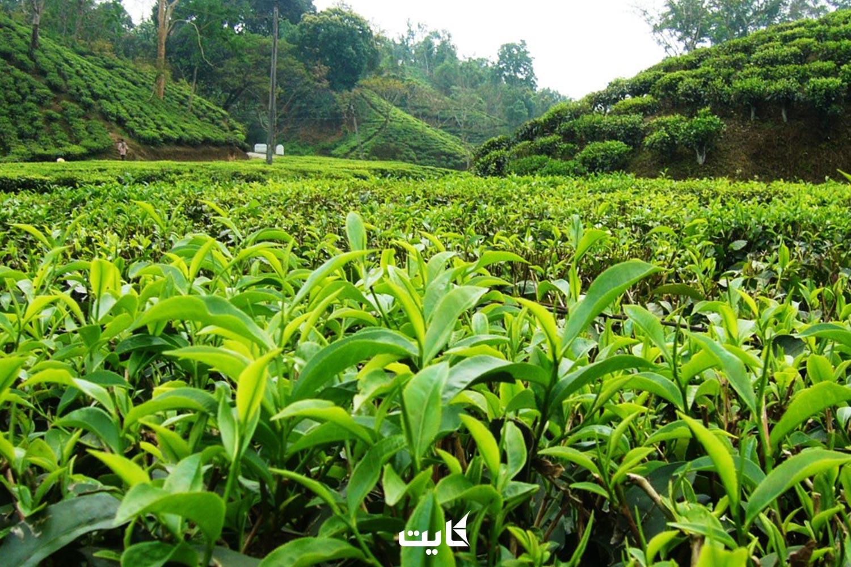 معرفی مزرعه چای نووارا الیا در سریلانکا