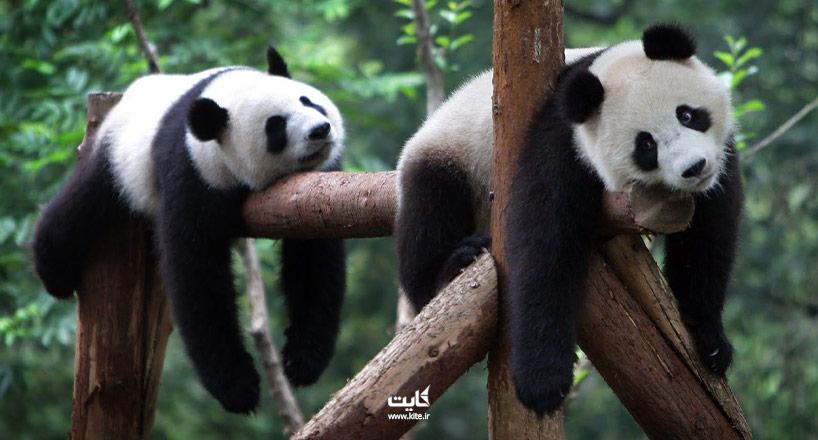 معرفی باغ وحشهایی برای برای دیدن خرس پاندا