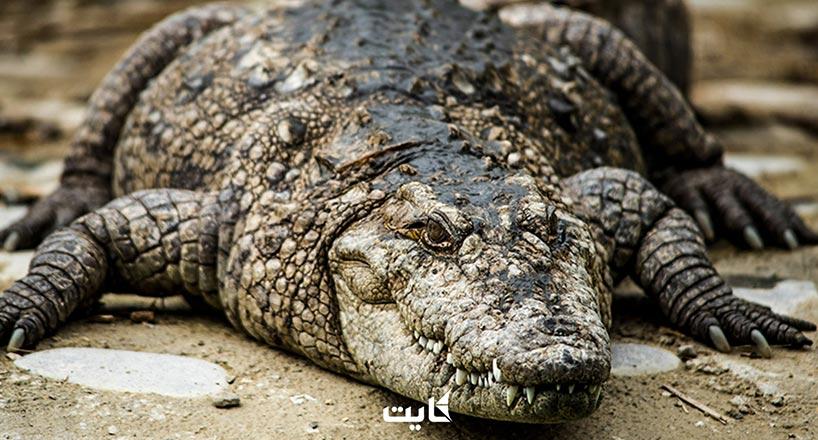 گاندو ایران   تمساحهای چابهار+ ویژگیها + تصاویر